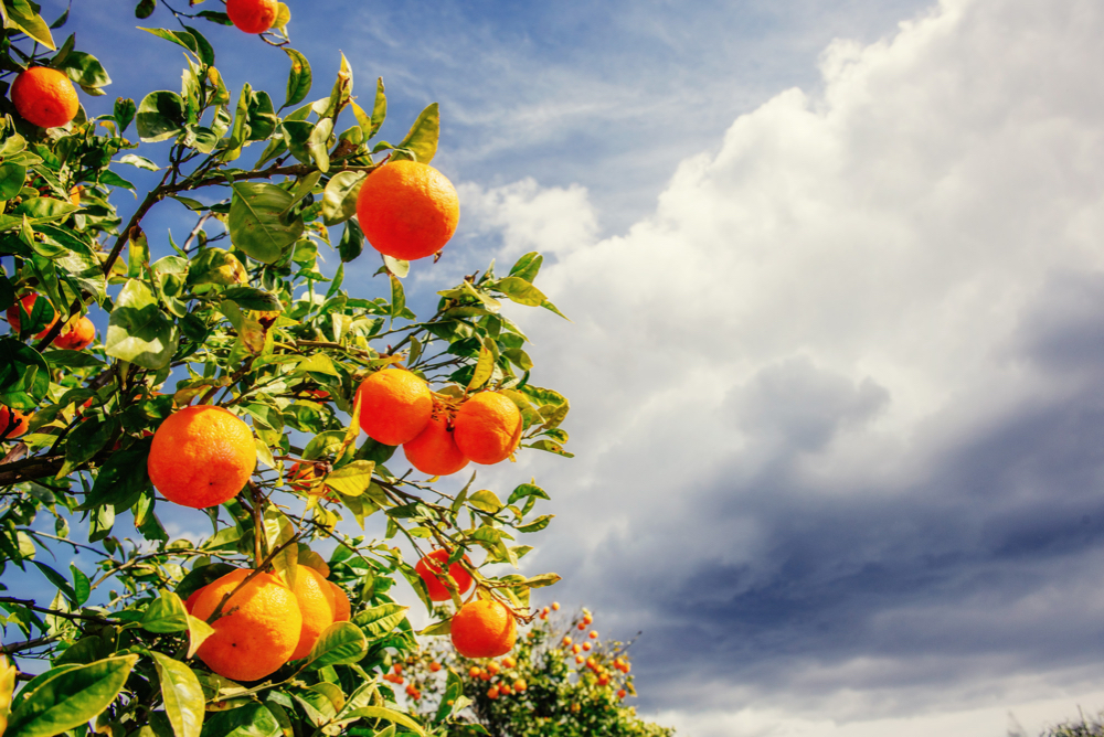 How to Care for Fruit Trees: Florida Oranges